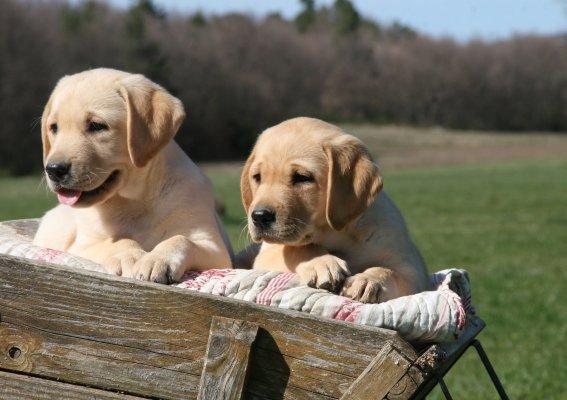 Elevage du clos de Nissa-Bella - eleveurs de chiens Labrador ...