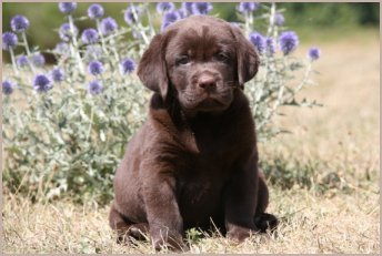 Acheter un labrador chocolat